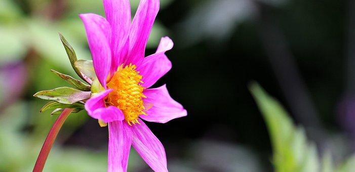 Sterndahlie, Dahlia, Georgine, Flower, Composites