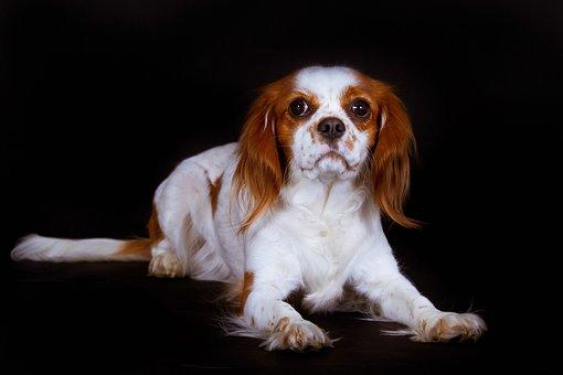 Dog, King Charles Spaniel, Cavalier, Black, Lying