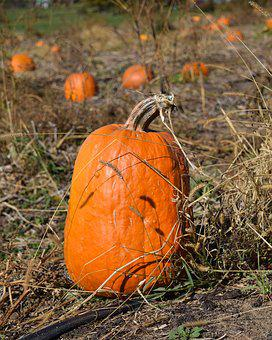 Pumpkin, Pumpkin Patch, Fall, Halloween, Autumn, Patch