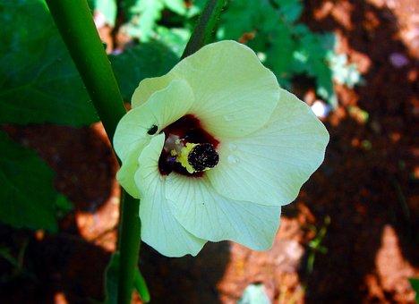 Lady Finger, Flower, Okra, Vegetable, Dharwad, India