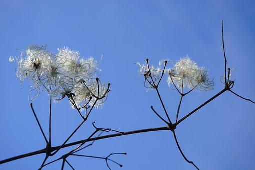Clematis Vitalba, Pods, Branch, Filigree, Soft, Fluffy