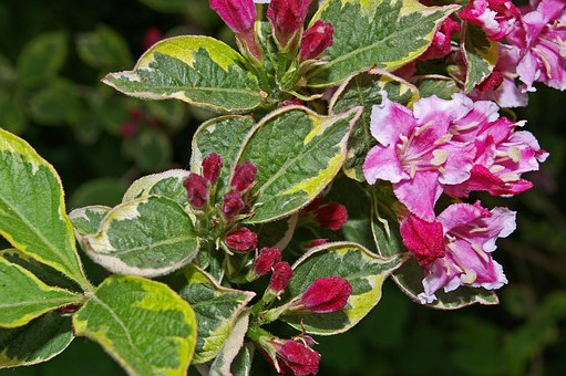 Weigela, Bush, Flowering Shrub, Bi Color, Garden