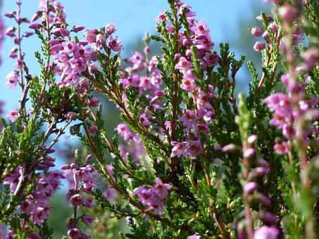 Heide, Heather, Blossom, Bloom, Purple, Lüneburg Heath