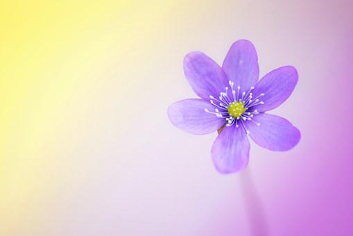 Flower, Blossom, Bloom, Purple, Hepatica, Spring Flower