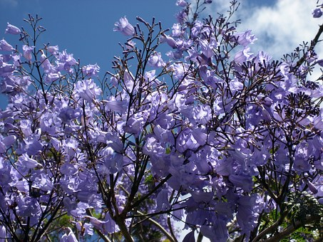 Jacaranda Blossoms, Blue Flowering, Tree-fern, Tree