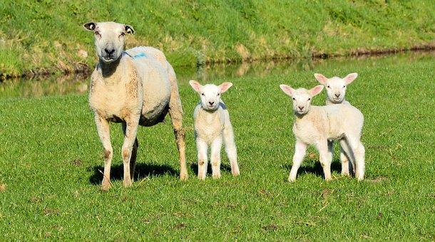 Sheep, Lamb, Livestock, Mammal, Cute, Domestic, Farming