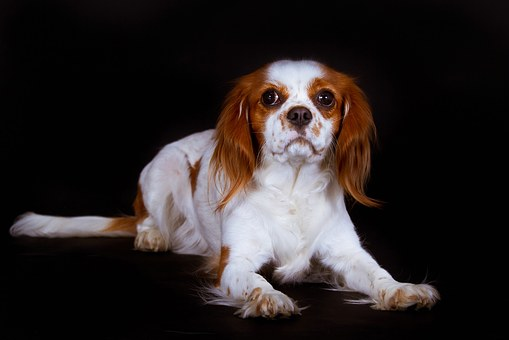 Dog, King Charles Spaniel, Cavalier, Black, Lying