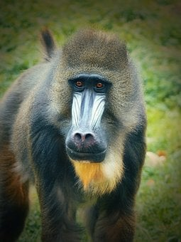 Monkey, Mandrill, Zoo, Zoo Augsburg, Males, Male