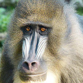 Monkey, Mandrill, Animal Portrait, View, Look, Zoo