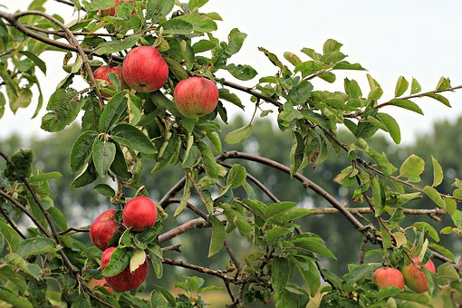 Apple, Fruit, Food, Healthy, Fresh, Red, Nature