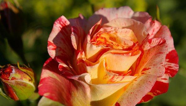 Rose, Painter Rose, Bi Color, Color Change, Floribunda