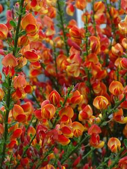 Broom, Flowers, Bush, Toxic, Plant, Gorse Blossom