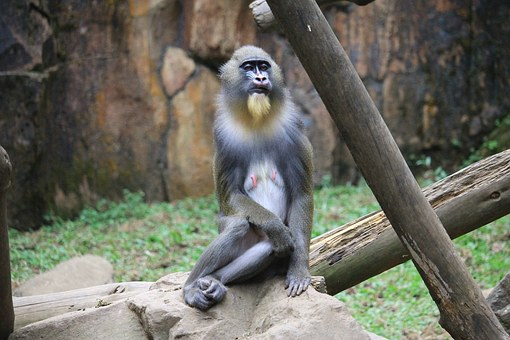 Mandrill, Monkey, Animal, Primate, Mandrillus, Species