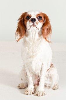 Dog, Cavalier King Charles Spaniel, Purebred Dog