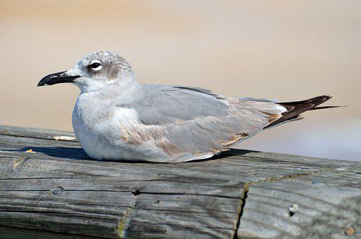Seagull, Bird, Resting, Pier, Sea, Animal, Gull, Nature