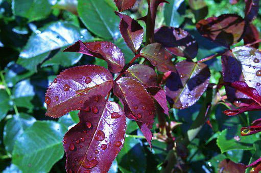 Rose Petals, New Growth, Westerland, Thorns