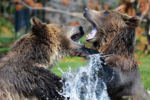 Grizzly, Bears, Playing, Sparring, Grizzlies, Bear