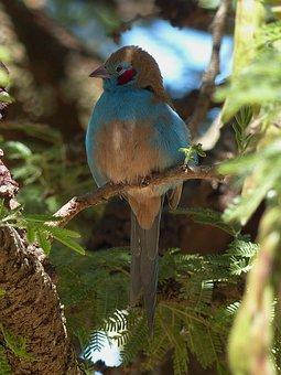 Ethiopia, Bird, Animal, Ornithology, Cordon Bleu