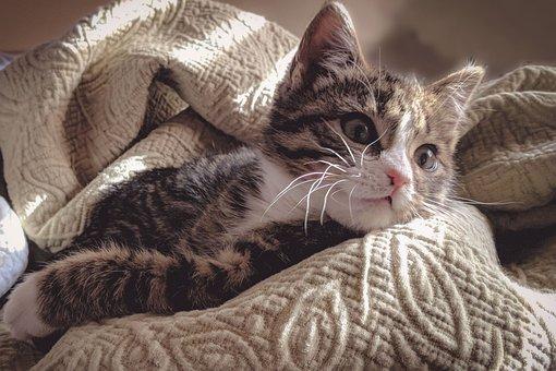 Cat, Kitten, Pet, Cute, Animal, Kitty, Adorable