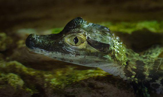 Young, Crocodile, Animal, Nature, Reptile, Wild
