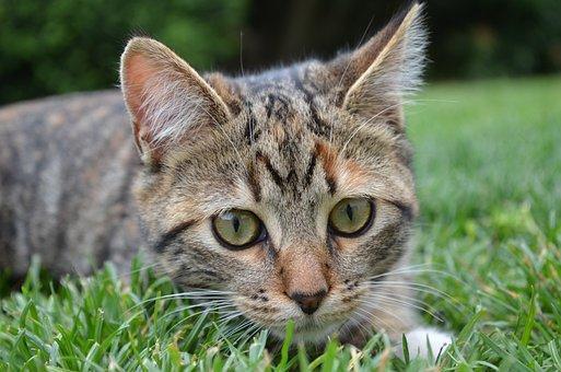 Cat, Grass, Domestic Animal, Tricolor, Lying, Feline