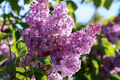 Lilac, Syringa, Close, Purple, Ornamental Shrub, Bloom