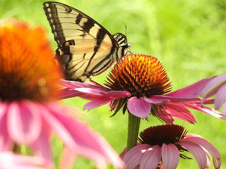 Swallowtail, Cone Flower, Pink