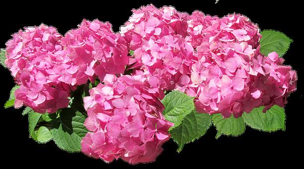 Hydrangea, Flowers, Pink, Cut Out