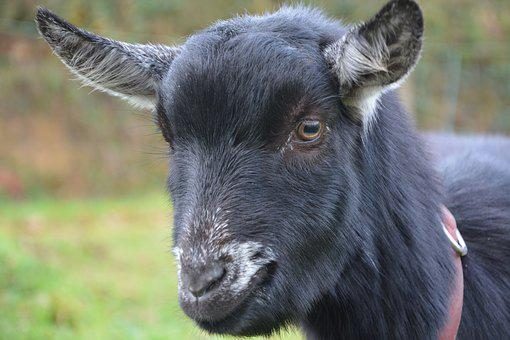Goat, Black White, Nature, Field, Pre, Prairie, Cute