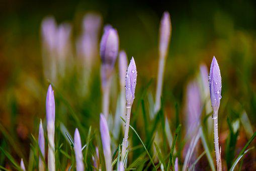 Background, Blurred, Close-up, Crocus, Crocuses, Dew