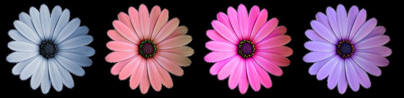 Flower, Blossom, Bloom, Color, Close, Daisy