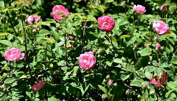Rose, Wild Rose, Pink, Blossom, Bloom, Flower