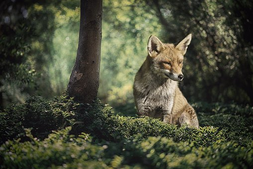 Fuchs, Forest, Wild Animal, Nature, Forest Animal