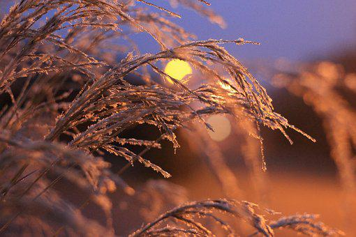 Hoarfrost, Grasses, Ice, Winter, Cold, Frost, Frozen
