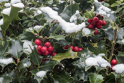 Holly, Ilex Aquifolium, Snow, Ordinary Holly