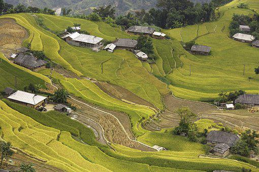 Vietnam, Rice, Rice Field, Kathy, Step, Hoangsuphi
