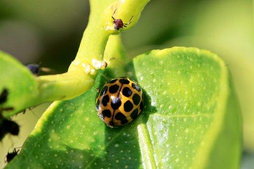 Ladybird, Ladybug, Aphid, Aphid Farming, Insect, Bug