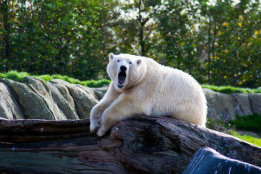 Animal, Polarbear, White, Bear, Arctic, Nature