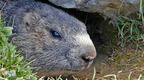 Nature, Animals, Wild Animal, Marmot, Head, Fauna