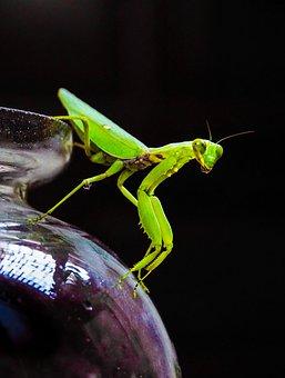 Grasshopper, Locust, Insect, Nature, Green, Close