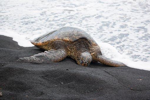 Nature, Hawaii, Wild, Animals, Turtle, Sea, Sea Turtle