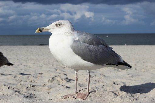 Gull, Seagull, Bird, Sea, Sand Beach, White Möve, Water