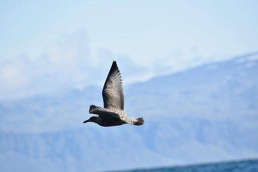 Skua, Birds In Flight, Nature