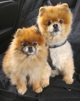 Dwarf Spitz, Pomeranian, Pointed, Dog, Small Dog, Pet