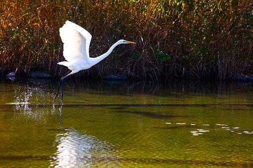 Egret, Standing, Peace Park