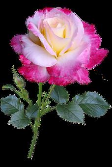 Rose, Flower, Stem, Double Delight, Cut Out