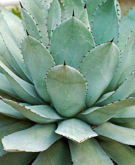 Agave Parryi, Succulent, Thick Leaf Plant