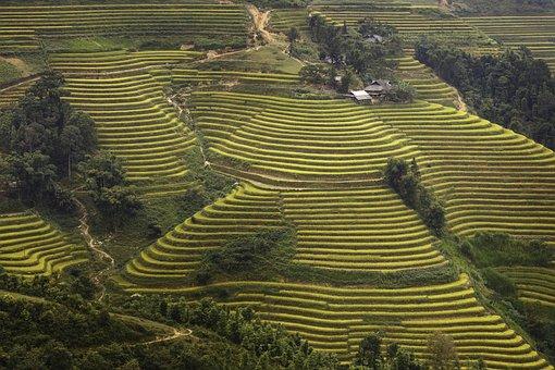 Vietnam, Rice, Rice Field, Kathy, Step, Travel