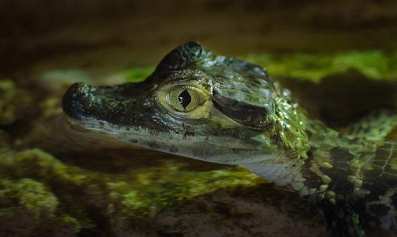 Young, Crocodile, Animal, Nature, Reptile, Wild