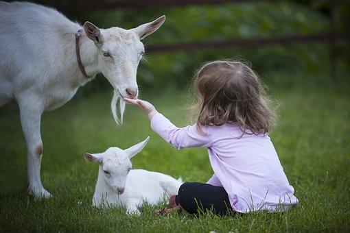 Goat, Kid, Animal, Goats, Cub, Maternity, White Goat